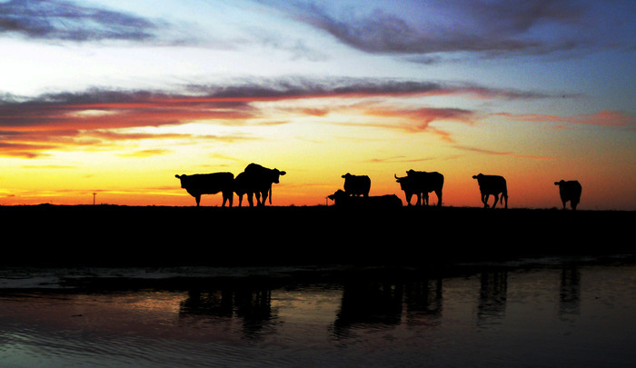 Cropped_cattle